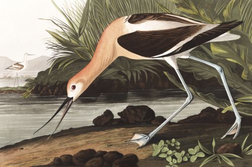 Download 435 High Resolution Images from John J. Audubon's The Birds of America